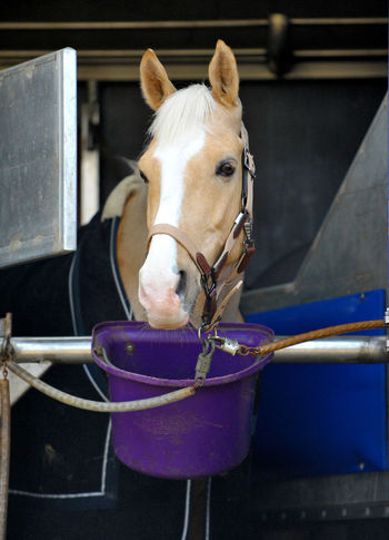 Horse on a horse trailer Animal Head  Animal Themes Bridle: Harness, Headgear; Hackamore Close-up Competition Day Domestic Animals Equestrian Equine Equipment Horse Horse Sport Horse Trailer Livestock Mammal No People On The Road One Animal Outdoors Palomino Pony Truck