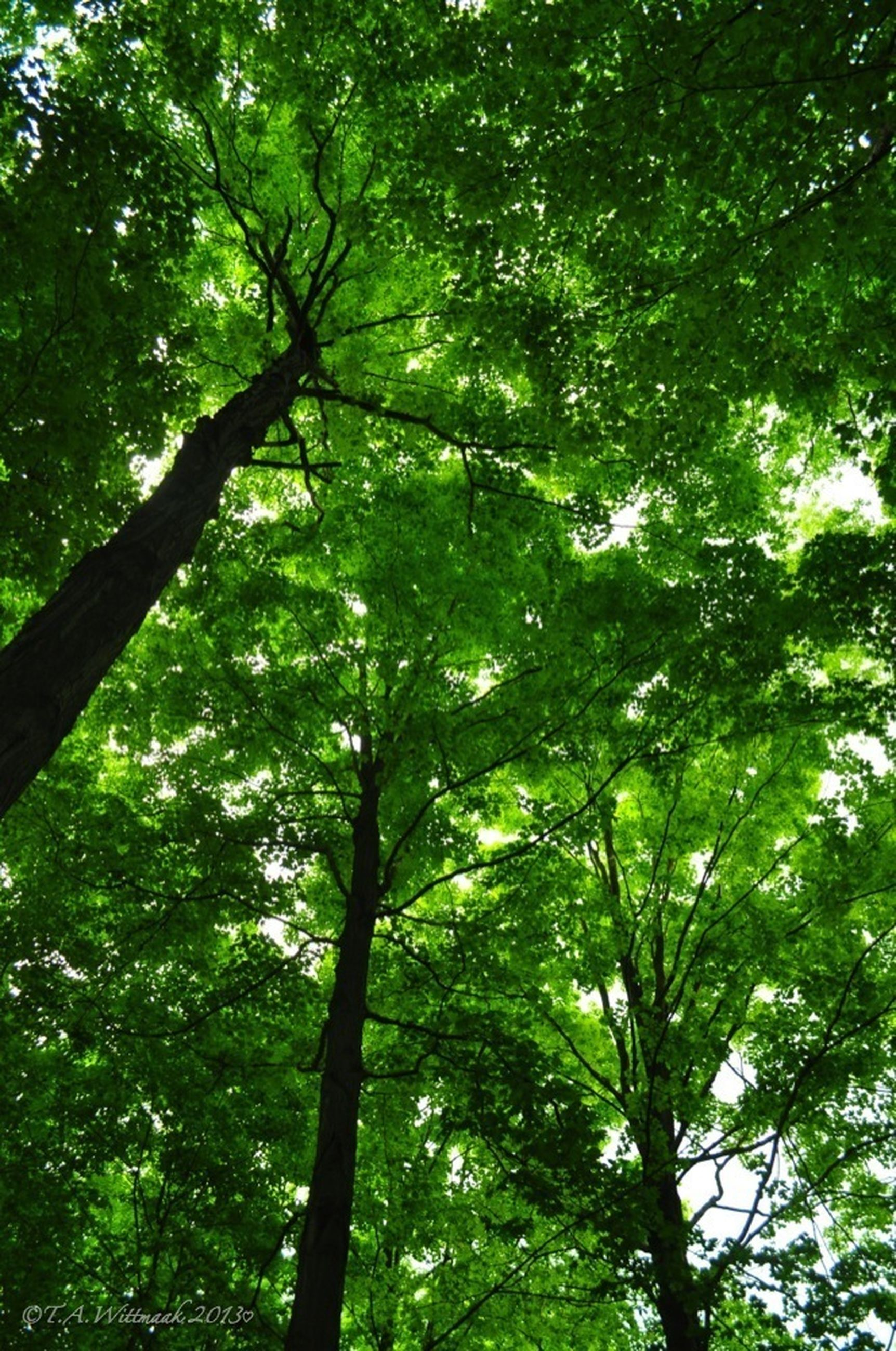 tree, low angle view, growth, branch, green color, forest, tranquility, nature, tree trunk, beauty in nature, lush foliage, backgrounds, day, tranquil scene, outdoors, full frame, no people, scenics, green, sunlight
