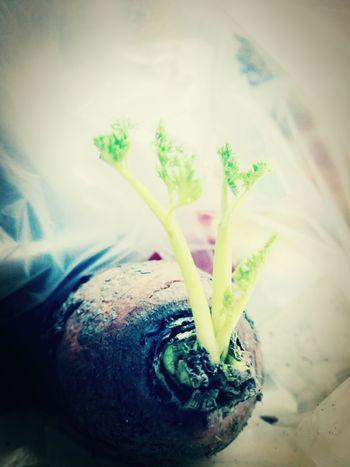萝卜 萝卜 胡萝卜 发芽了
