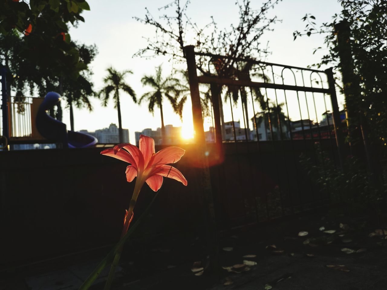 sunset, flower, sunlight, growth, outdoors, sun, nature, beauty in nature, no people, day, plant, leaf, close-up, sky, fragility, tree, freshness, city