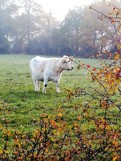 Agriculture One Animal No People Animal Themes Domestic Animals Tree Mammal Outdoors Nature Grass Green Color Grass Nature Agriculture Cows Cows🐮 Taureaux Taureau Et Vache