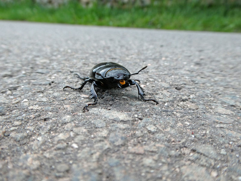 Here I am ... Glance Glänzend Schwarzer Käfer Animals In The Wild Animal Wildlife Beauty In Nature Front View Frontside Black Beetle Black Insect Stag Beetle Hirschkäfer Female Südpfalz Street Streetphotography Käfer Insekt Insect Close-up Animal Themes Beetle Bug
