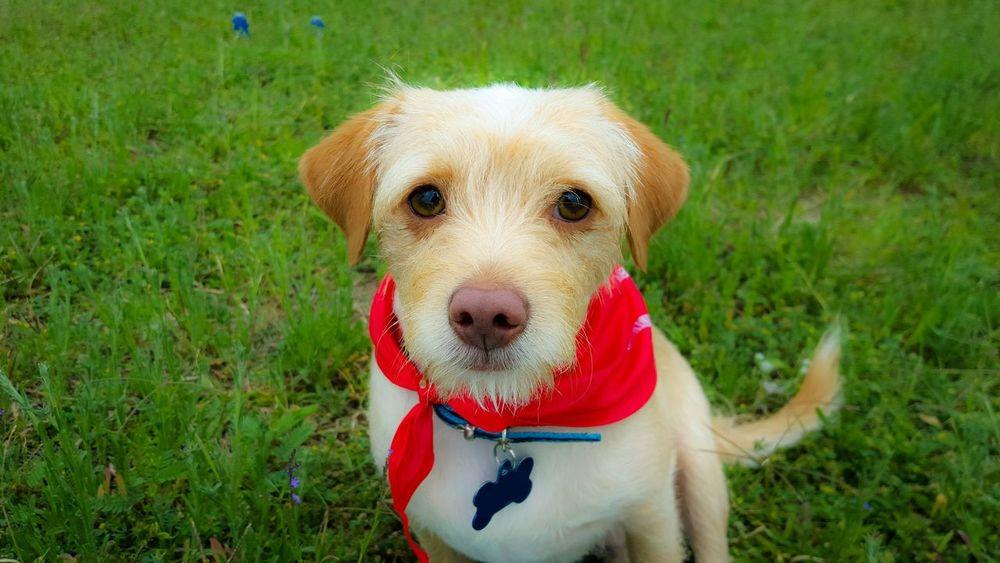Cute Cute Pets Cute Dog  Dog Close Up Cellphone Photography Sad Eyes Puppy My Dog Neckerchief Collar Outdoor Love Me