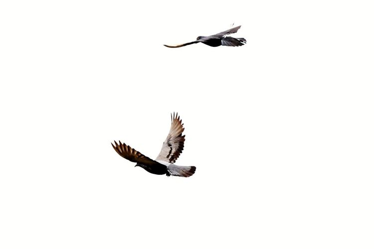 🕊🕊🕊 Sky Canon Bird Of Prey Bird Spread Wings Flying Full Length Mid-air Animal Themes Sky Animal Wing Fly Flapping