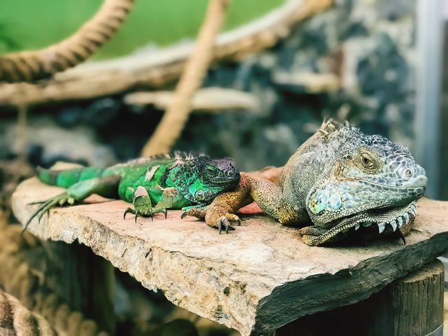 What we gonna do bro! Mobilephotography Reptile Lizard Animals In The Wild Animal Wildlife Animal Themes One Animal Iguana Nature No People