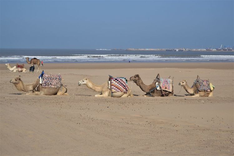 6 camels on Essaouira beach in Morocco with white topped waves in the background. Beach Land Water Sea Sand Sky Horizon Over Water Horizon Scenics - Nature Nature Day Beauty In Nature Tranquility Incidental People Tranquil Scene Group Outdoors Relaxation Camel Essaouira Morocco