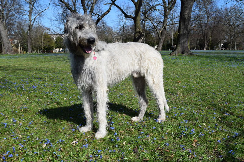 One Animal Domestic Animals Dog Tree Grass Dogs Of Spring Dogwalk Dog Of The Day Dogs Of EyeEm Dogslife Irish Wolfhound Cearnaigh How Is The Weather Today? Spring 2017 Blue March 2017 A Walk In The Park Springtime Spring Is In The Air Sunlight The Place ı've Been Today Animal Themes Outdoors