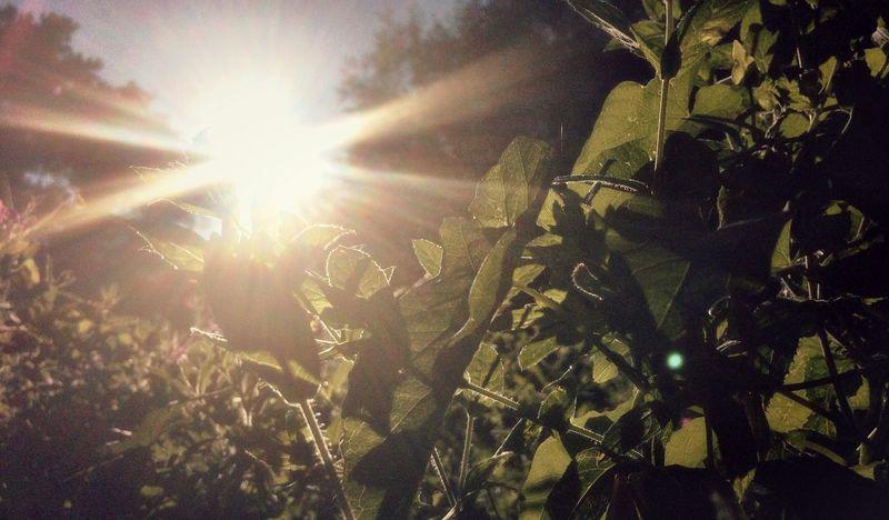 Nature Sun Lens Flare Leaves