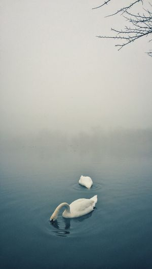 Carefree Escapism Fog Getting Away From It All Horizon Landscape Majestic Nature Non-urban Scene Outdoors Peaceful Prospect Park Recreational Pursuit Reflection Remote Scenics Swans Tranquil Scene Tranquility Tranquility Tree Waterscape