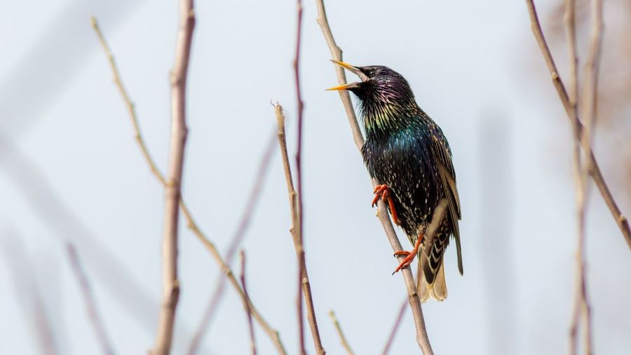 Starling perching on stick against sky