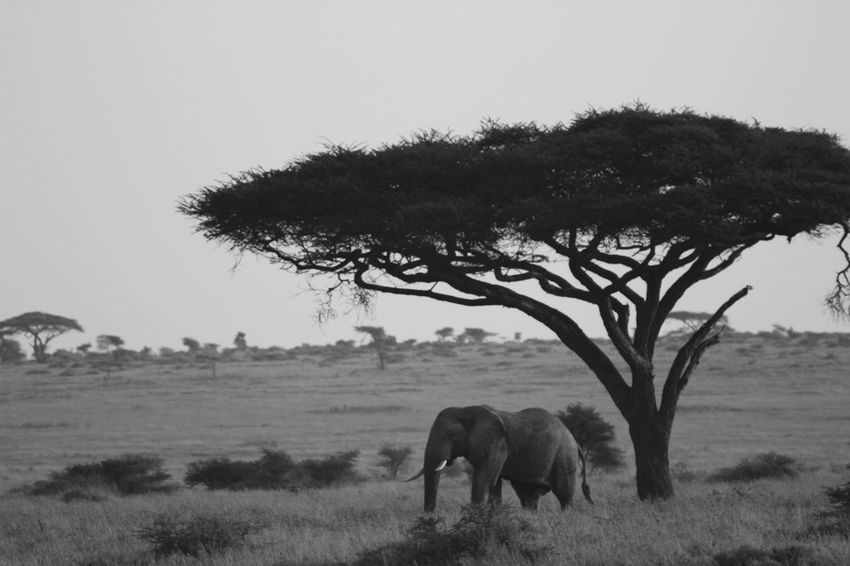 Acacia Tree African Elephant Animal Animal Themes Beauty In Nature Black And White Clear Sky Countryside Elephant Full Length Growth Herbivorous Landscape Mammal Monochrome Nature No People Non-urban Scene Standing Tranquil Scene Tranquility Tree Zoology