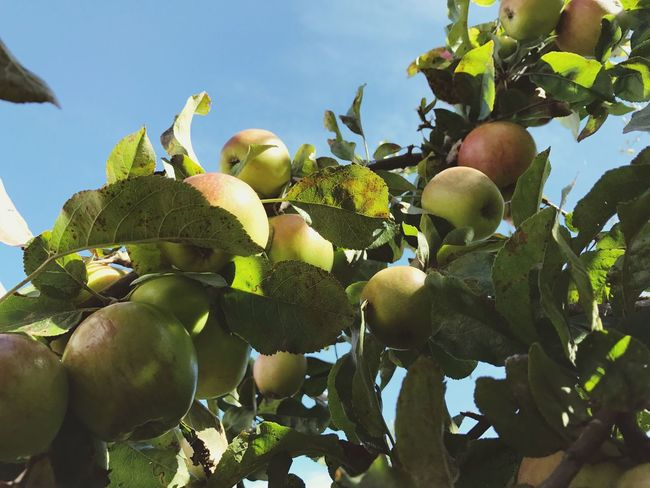 Apple Tree Apple - Fruit Fruit Food And Drink Food Leaf Growth Healthy Eating Freshness Tree Outdoors Green Color Day Ripe Low Angle View No People Branch Nature Close-up Agriculture Sky