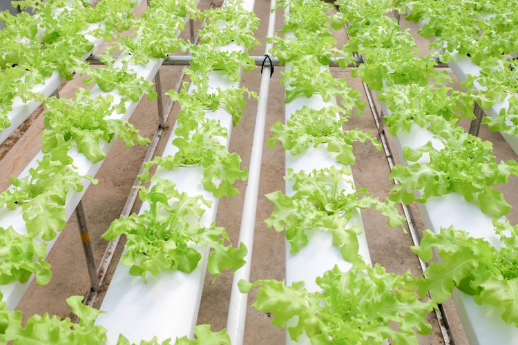 Day Food Food And Drink Freshness Gardening Green Color Growth Healthy Eating Herb High Angle View In A Row Leaf Lettuce Nature No People Organic Outdoors Plant Plant Part Potted Plant Tray Vegetable Wellbeing