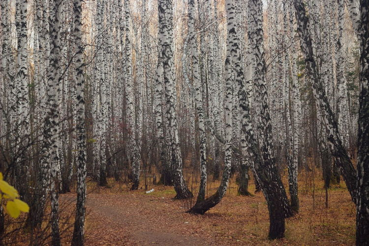 Autumn birch forest Forest Tree WoodLand No People Environment Nature Tree Trunk Landscape Birch Trees Birch Forest Birch Autumn Collection Autumn Forest Fall Leaves Fall Colors Fall Season White Tree Autumn Nature_collection NatureZiesel777 EyeEm Nature Lover EyeEm Best Shots - Nature Helios Retro Lens Change Cold Fallen Leaf
