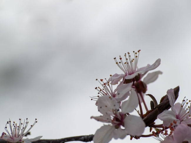 Agriculture Almond Tree Almond Blossom Copy Space Prunus Dulcis Rosaceae Sunlight Beauty In Nature Blooming Blossom Botany Cherry Blossom Cherry Tree Close-up Day Delicacy Delicate Floral Floral Frame Flower Flower Head Flowering Plant Flowerporn Fragility Frame Freshness Fruit Tree Fruit Tree Blossoms Growth Inflorescence Nature No People Outdoors Petal Pink Color Plant Plantation Pollen Purity Space For Text Spring Springtime Stamen Tree Vulnerability  White Flower