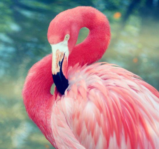 Dark Pink By Motorola Pink Flamingo at Bevard County Zoo Flamingo