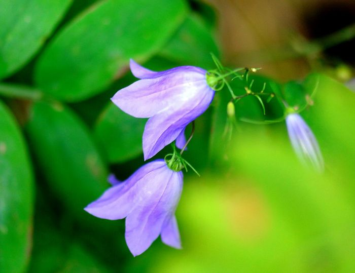Bluebells Bluebell Flower Bluebell Flowers Flower Photography Nature Macro Nature Nature Beauty Macro Photography Macro Macro_captures Macro_collection Macro_flower Flowers, Nature And Beauty Summer2016 Color Of Life