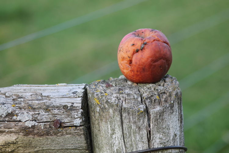 Rotten Apple Close-up Day Focus On Foreground Growth Log Nature No People Outdoors Rotten Apple Selective Focus Wood Wood - Material Wooden Wooden Post