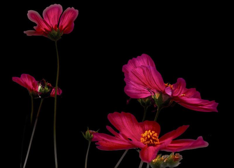 Black Background Close-up Flowering Plant Fragility Inflorescence Petal Pink Color Transparency