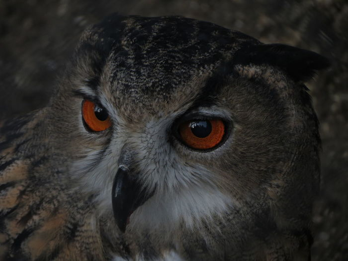 fire eyes Fire Eyes Animal Themes Animal Wildlife Animals In The Wild Beak Big Bird Bird Bird Of Prey Close-up Feather Beauty Focus On Foreground Looking Looking At Camera Nature Night Night Bird No People One Animal Outdoors Owl Portrait Red Eye Owl