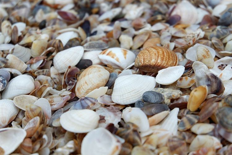 EyeEm Selects Beach Seashell Crustacean Seafood Pebble Beach Animal Shell Close-up Scallop Garlic Clove Plant Bulb Oyster  Salted Shell Garlic Bulb Dried Fish  Shrimp - Seafood Dried Food Mussel Gastropod Snail Nutshell Anise Raw Hermit Crab Dried Fruit Slow Fish Market Antenna Animal Antenna