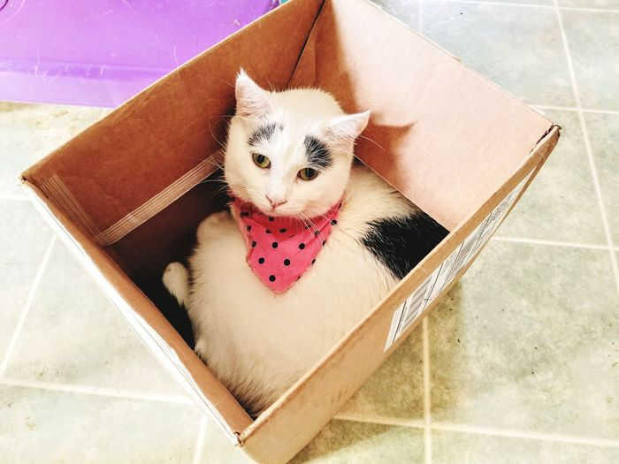 Cat in a box. Polkadot will manage to fit in every box she finds no matter the size. A Cat Thing