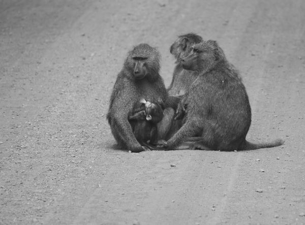 Animal Family Animal Themes Animal Wildlife Animals In The Wild Baboon Day Infant Mammal Monkey Nature Outdoors People Sitting Togetherness Young Animal