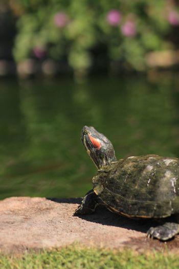 Garden Pond Life Green Turtle Turtle Green Turtles Turtle 🐢 EyeEm Selects EyeEm Pond Ponds Grasslands