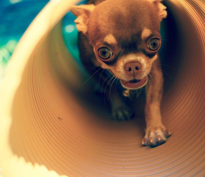 Chihuahua Love ♥ Chihuahualovers Chihuahuapower Chihuahuas<3 Gang De Chihuahua Perfect Chihuahua Chihuahuaoftheday