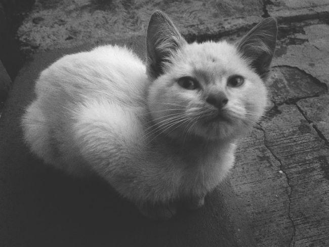 Pet Portraits Domestic Cat Pets Portrait Feline Domestic Animals Blackandwhite Blanco Y Negro Gato