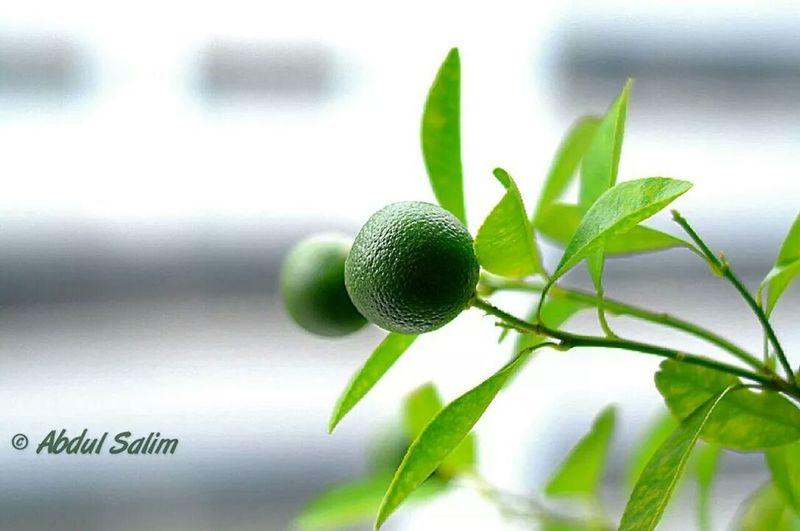 Lime Plant Nikon D7000 photography Windowlight Aesthetically Pleasing