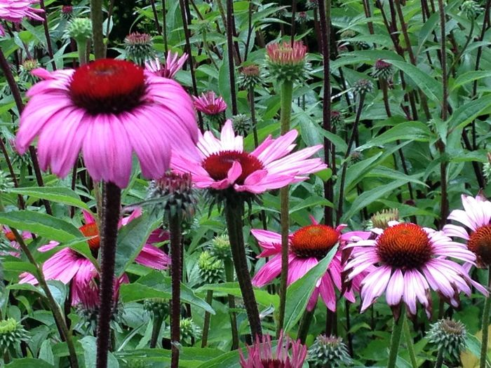 Photography July 2016 Beauty In Nature Blooming Close-up Coneflower Day Eastern Purple Coneflower Field Flower Flower Head Fragility Freshness Growth Nature No People Outdoors Petal Pink Color Plant Pollen