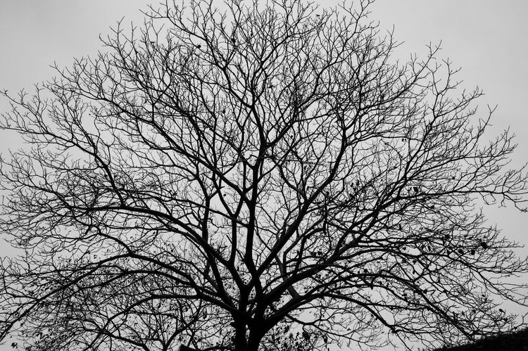 Tree Bare Tree Branch Sky Low Angle View Plant Silhouette No People Nature Day Tranquility Outdoors Beauty In Nature Clear Sky Scenics - Nature Trunk Tree Trunk Growth Dead Plant Tree Canopy  Blackandwhite