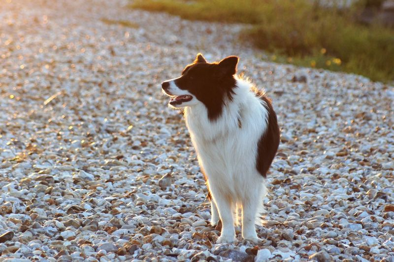 Dog standing on the beach at sunset. Animal Themes Animal One Animal Pets Pet Owner Mammal Vertebrate Domestic Domestic Animals Dog Canine Border Collie Black Color White Color Standing Whisker Mouth Open Looking Land Beach Pebble Beach Multi Colored Stone - Object Pebble Grass Green Color Flowering Plant Yellow Flower No People Nature Beauty In Nature Scenics - Nature Sunset Orange Color Sunlight Shadow Silhouette Animal Eye Day Outdoors Focus On Foreground High Angle View Front View Looking Away The Traveler - 2019 EyeEm Awards