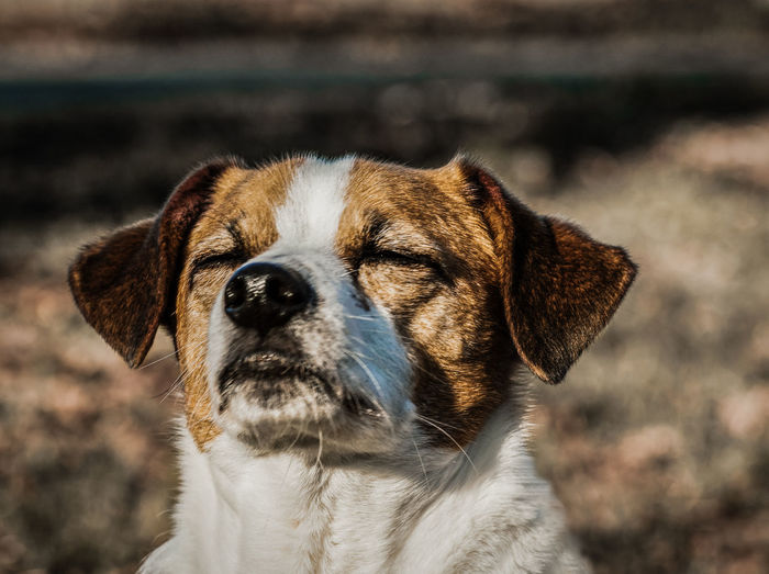 Brown and white dog enjoying the sun on his face Animal Animal Body Part Animal Ear Animal Head  Animal Themes Close-up Dog Domestic Domestic Animals Facing The Sun Focus On Foreground Looking Looking Away No People One Animal Outdoors Pets Portrait