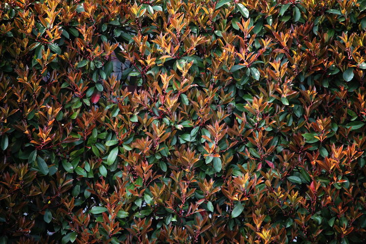 Backgrounds Beauty In Nature Close-up Day Full Frame Growth Hedge Leaves March 2017 Milano Nature No People Outdoors
