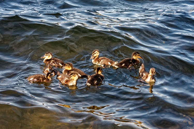 Animal Themes Animal Wildlife Animals In The Wild Bird Close-up Day Ducklings Swimming High Angle View Lake Nature No People Outdoors Rippled Swan Swimming Water Waterfront Young Animal Young Bird