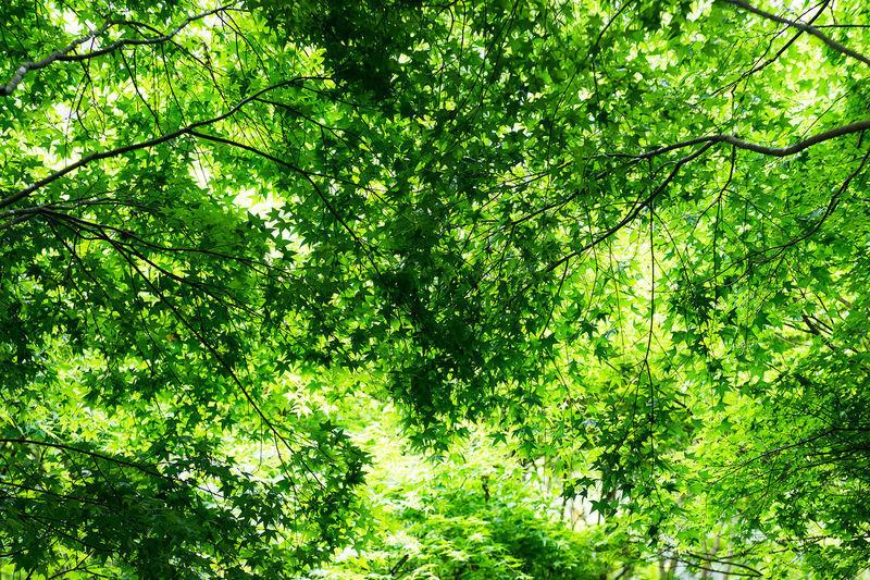 Green maple