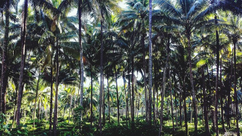 Coconut Palms Khao Lak Phang Nga Thailand Outdoors ASIA Southeast Asia Phangnga Southern Thailand Sunshine Landscape Trees Shadow Palm Trees Afternoon Miles Away
