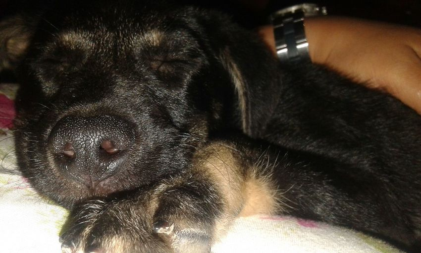 My Little Puppy Love♥ Amomaisquechocolate