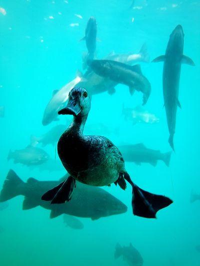 Underwater Shot Of Duck Swimming In Sea