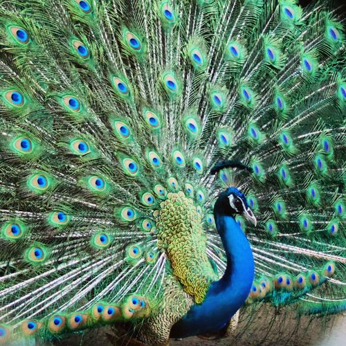 Peacock Peacock Feather Birds That's Me Check This Out Hello World Hi! Beautiful Azazphotos
