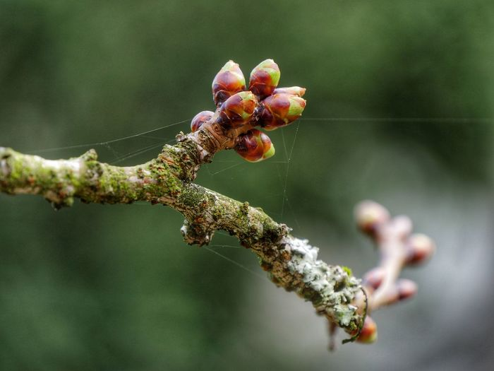 Close-up of  buds on an acre tree