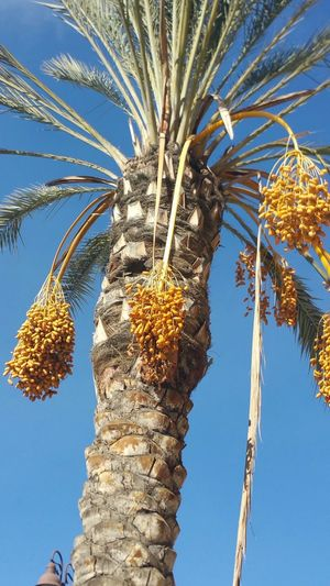 Palmtree My Winter Favorites Different Kind Of Winter Shaggy Winter Palm Nature Blue Sky Enjoying My Day  No Edits No Filters Beautiful Winter Day, Jan 2,2016 Showcase: January The EyeEm Facebook Cover Challenge