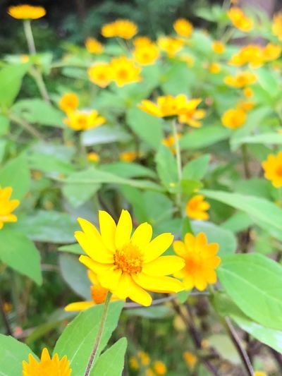 Flowers in park EyeEmNewHere EyeEm Selects Flower Flowering Plant Freshness Plant Fragility Yellow Vulnerability  Beauty In Nature Growth Flower Head Close-up Plant Part No People