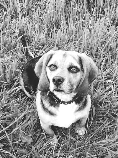 Grass Dog Pets Domestic Animals One Animal Mammal Animal Themes Looking At Camera Portrait Field Close-up