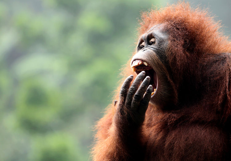 Close-up of orangutan yawning outdoors