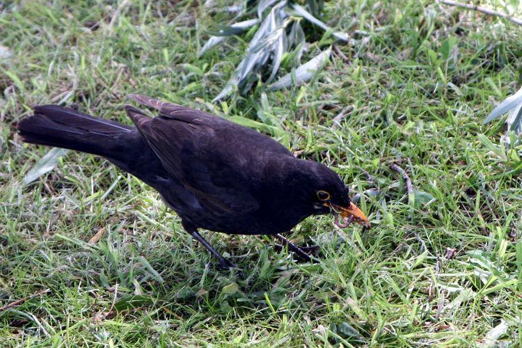 Amsel Animals In The Wild Balck And Yellow Bird Bird And Worm Black Color Blackbird Grass Rainworm