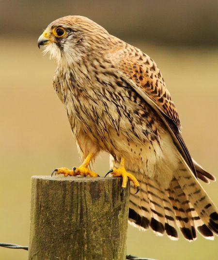 Close-up of hawk perching outdoors