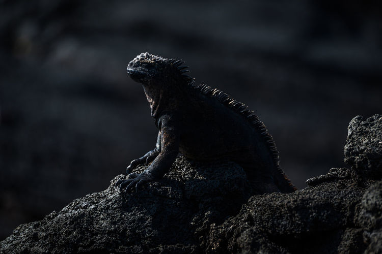 Iguana on rock formation at night